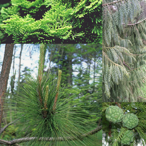 All About Conifers: Tree Identification, Management, and Landscape Use