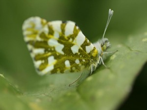 """Encountering Rarity: Restoring the Endangered Island Marble Butterfly"""