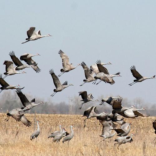 Bird Migration (online)