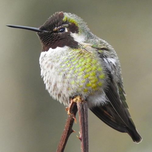 Hummingbirds: Living Jewels of the Sky
