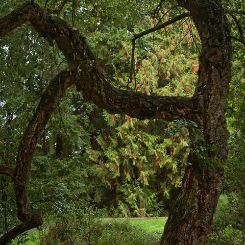 Curator Tour: Oaks