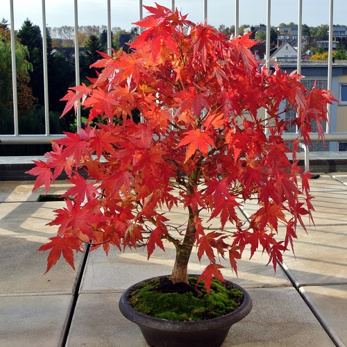 Fundamentals of Bonsai: Fall