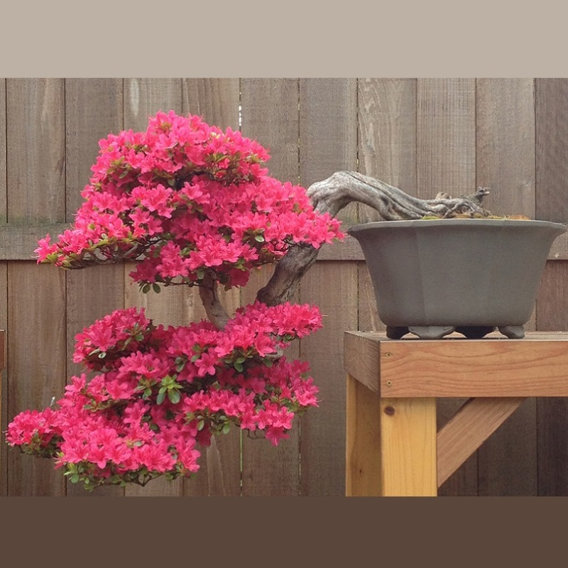 Fundamentals of Bonsai: Spring