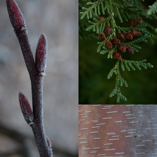 Branches, Bark, and Buds! Winter Tree Identification