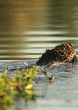 Sold Out - Meet Seattle's Urban Beavers